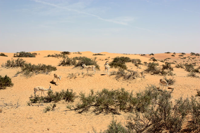 Platinum Heritage - Desert Safari Dubai - Breakfast with a Bedouin - Arabian Oryx in the wild