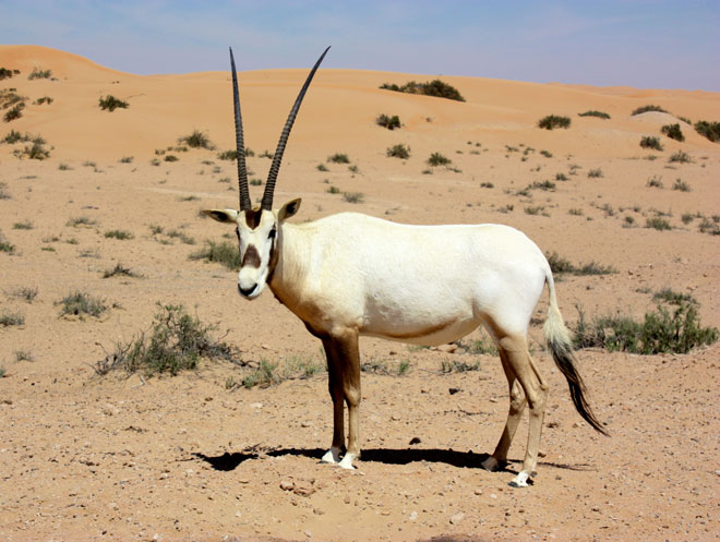 Platinum Heritage - Desert Safari Dubai - Breakfast with a Bedouin - Arabian Oryx - The original Unicorn