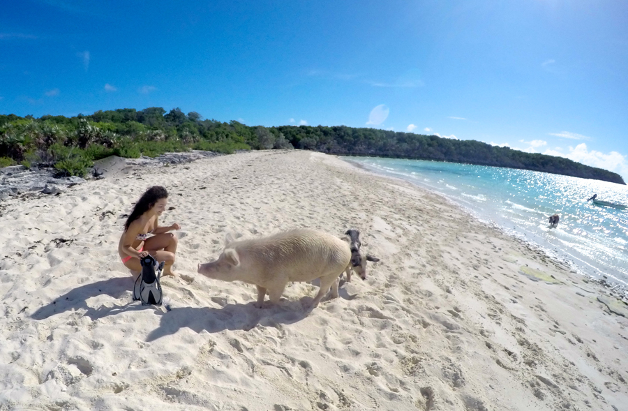 Swimming pigs Exumas