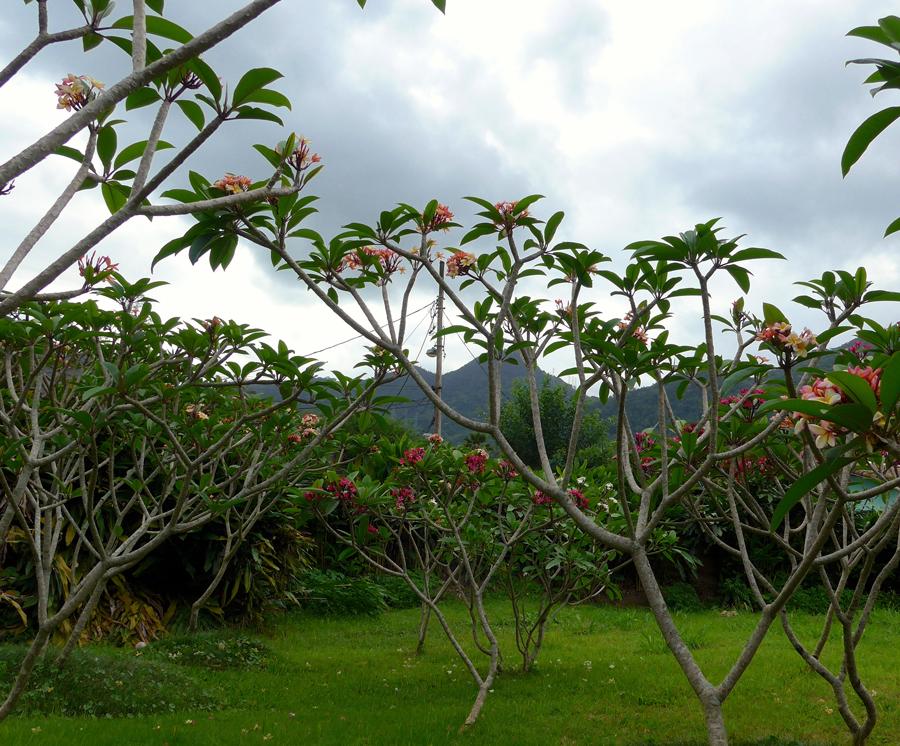 Botanical Garden Rio de Janeiro - Jardim Botanico do RIo de Janeiro - Frangipani / Plumeria trees