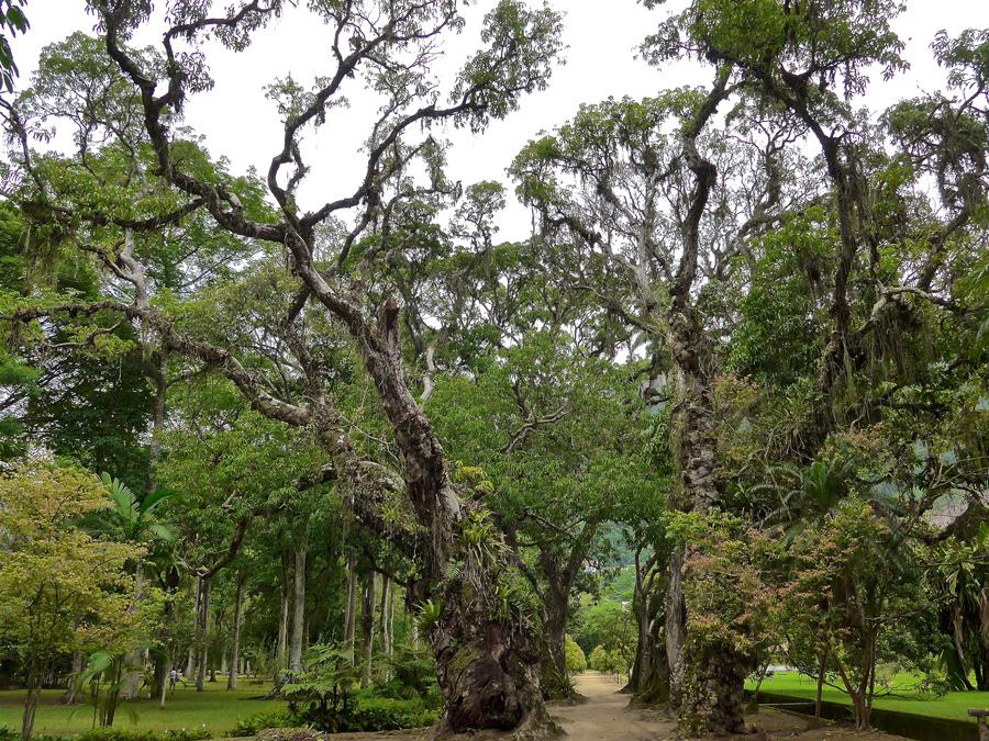 Botanical Garden Rio de Janeiro - Jardim Botanico do RIo de Janeiro - Ancient Gnarled Trees