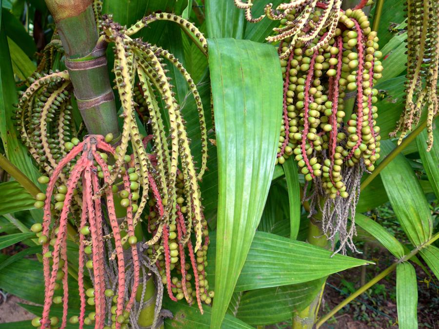 Botanical Garden Rio de Janeiro - Jardim Botanico do RIo de Janeiro - Seed strands