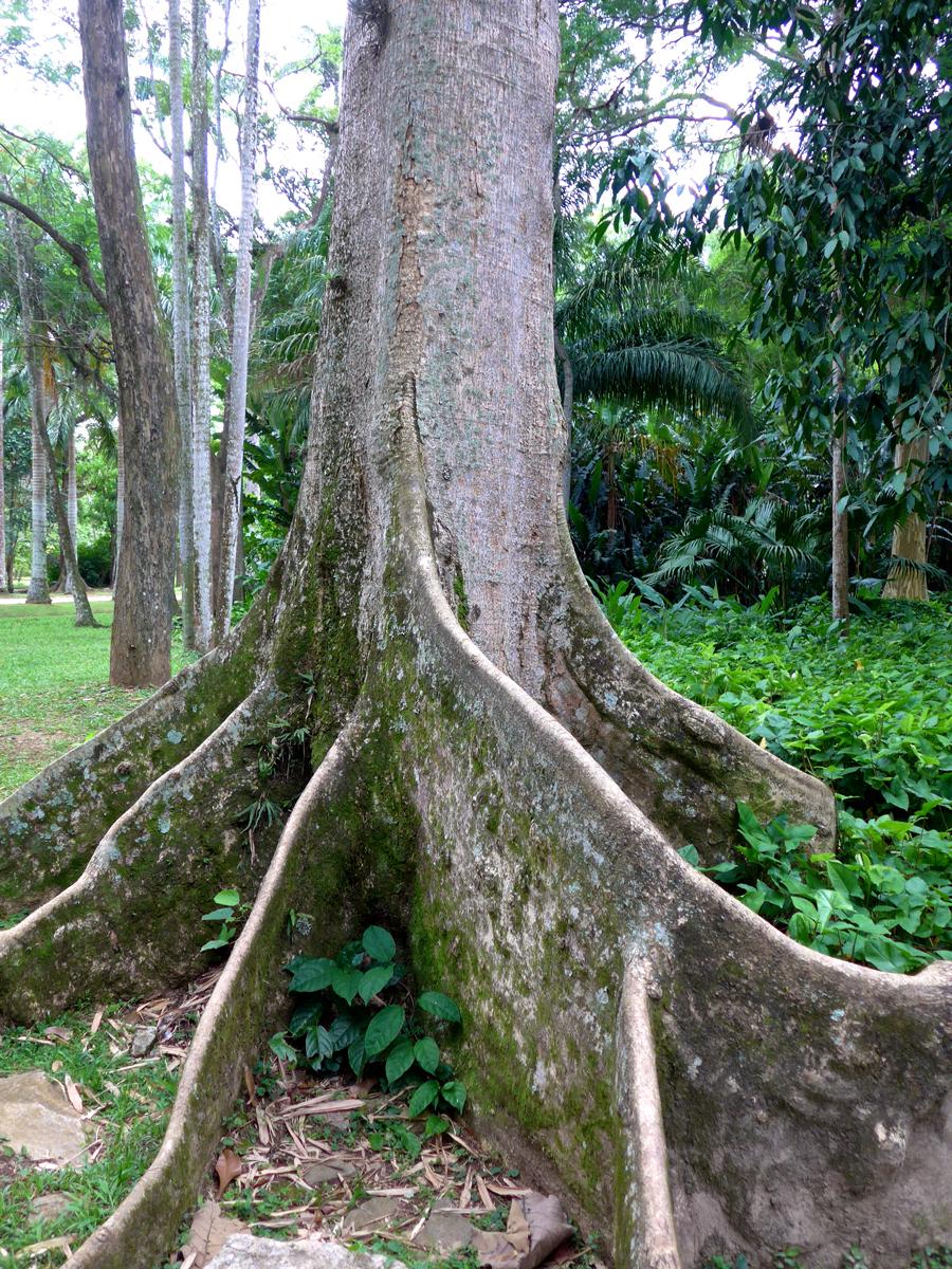 Botanical Garden Rio de Janeiro - Jardim Botanico do RIo de Janeiro - tree roots