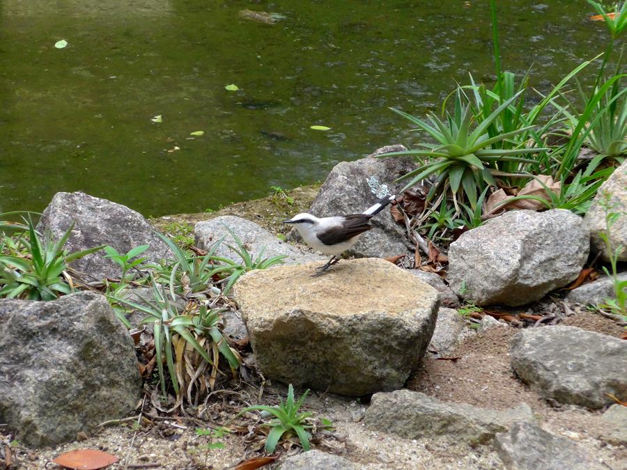 Botanical Garden Rio de Janeiro - Jardim Botanico do RIo de Janeiro - White Monjita Flycatcher