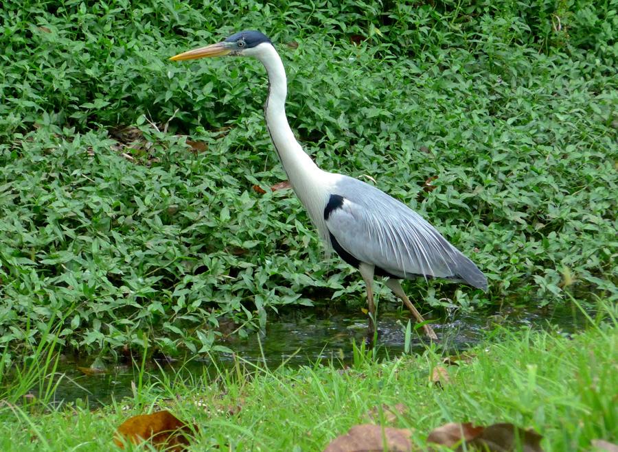 Botanical Garden Rio de Janeiro - Jardim Botanico do RIo de Janeiro - White Necked Heron Brazil Botanical Garden