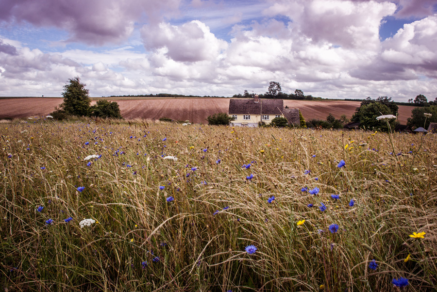 Cotswold Lavender fields - wild flowers, cornflower, meadow, rolling hills