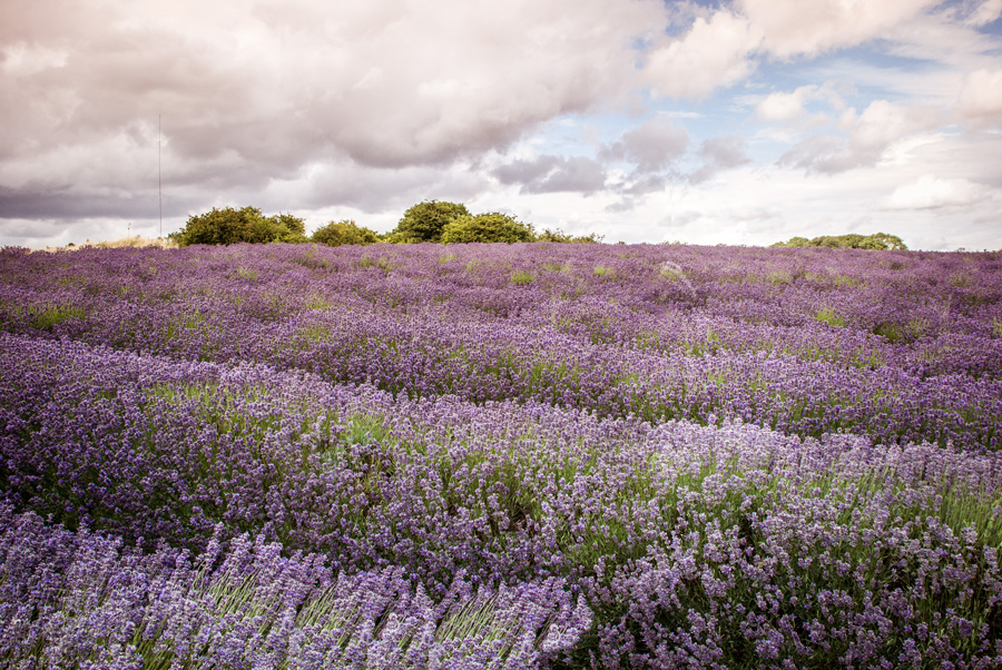 Cotswold Lavender fields - lavender as far as the eye can see