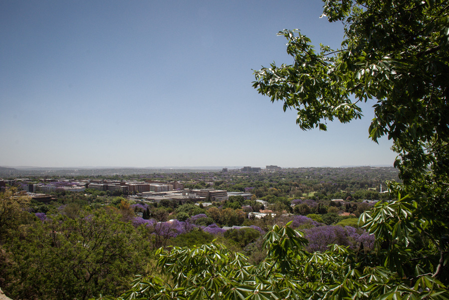 Jacaranda Trees flowering - Houghton, Munro Drive, Johannesburg, South Africa