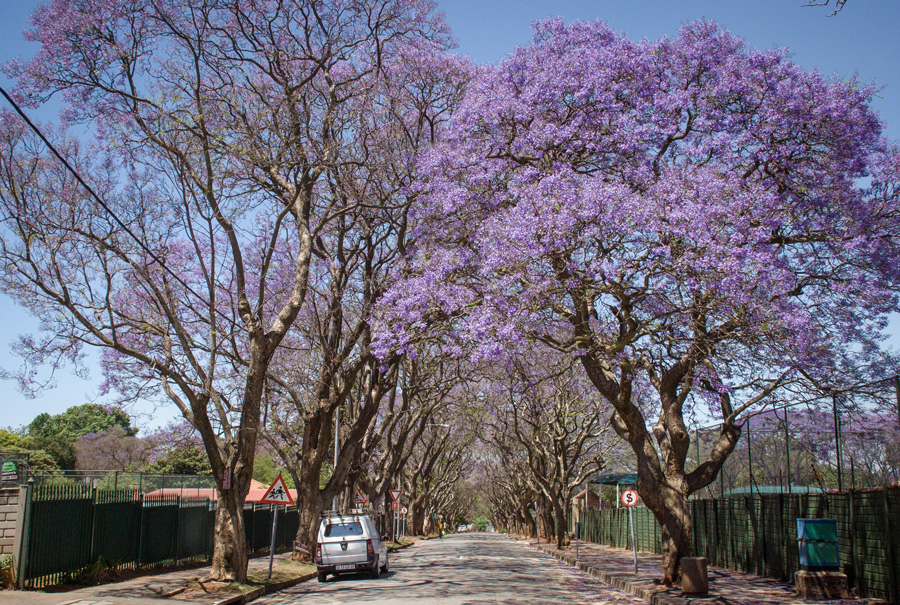Jacaranda Trees flowering - Rosebank, Johannesburg, South Africa