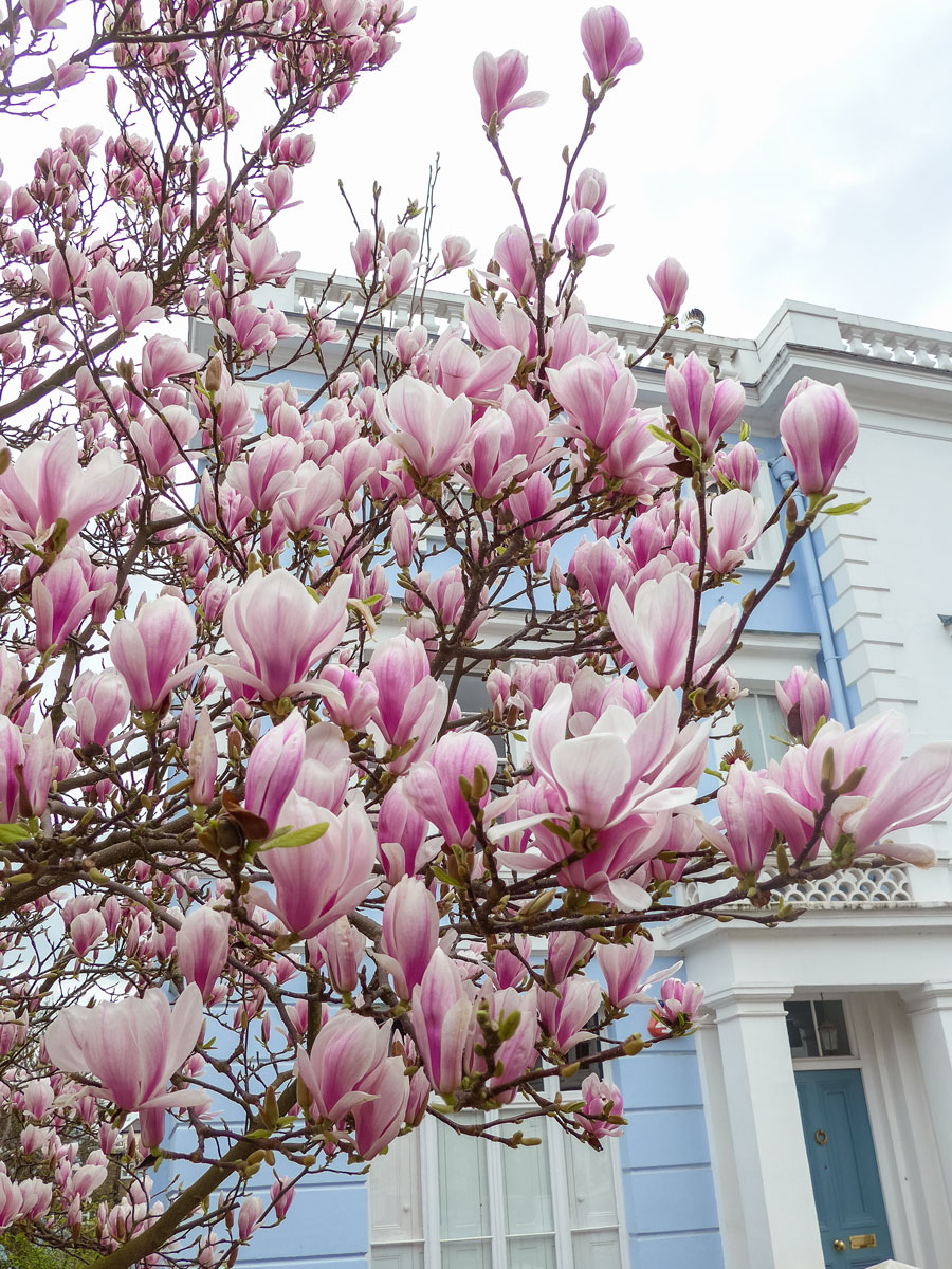 Landsdowne-Road-Notting-Hill-Blossom-London