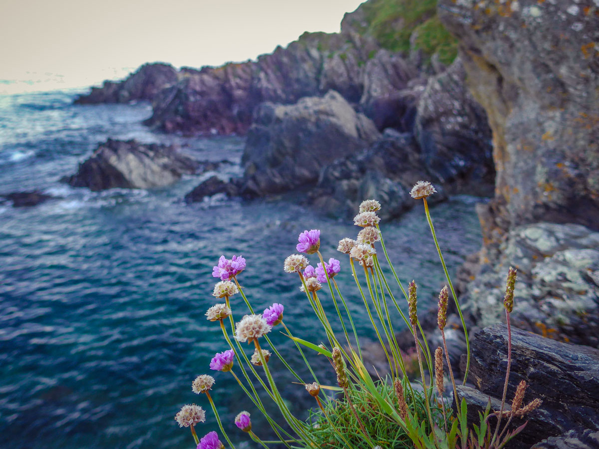 Polperro-Flowers---Flowers-on-a-cliff---Flowers-and-the-sea
