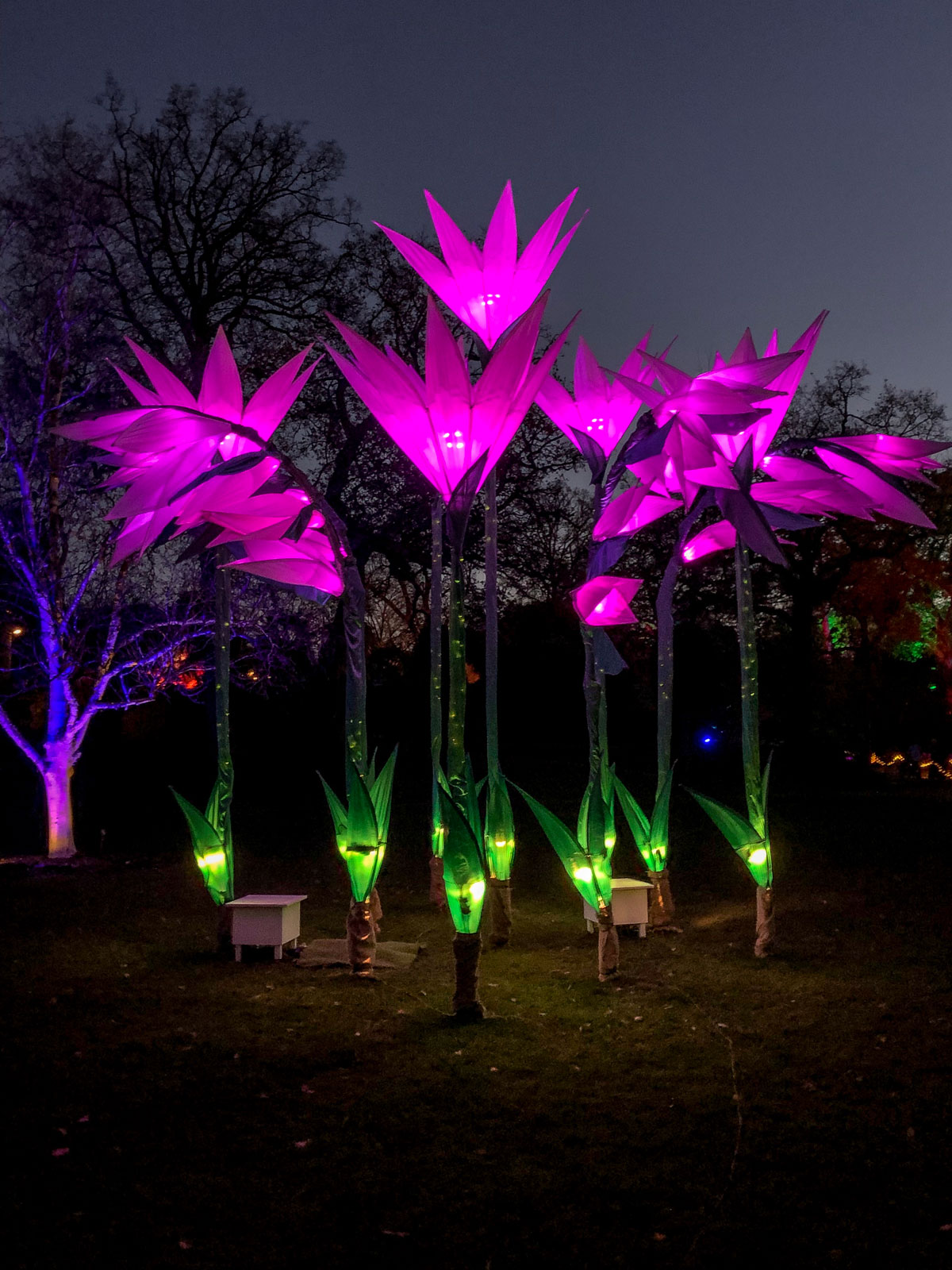 RHS Wisley Glow 2018 illuminated flowers
