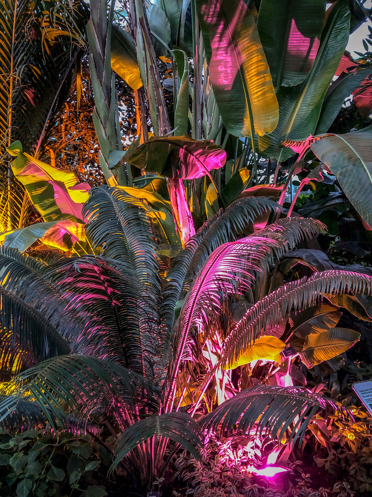 RHS Wisley Glow 2018 uplit pink palm trees in the glasshouse