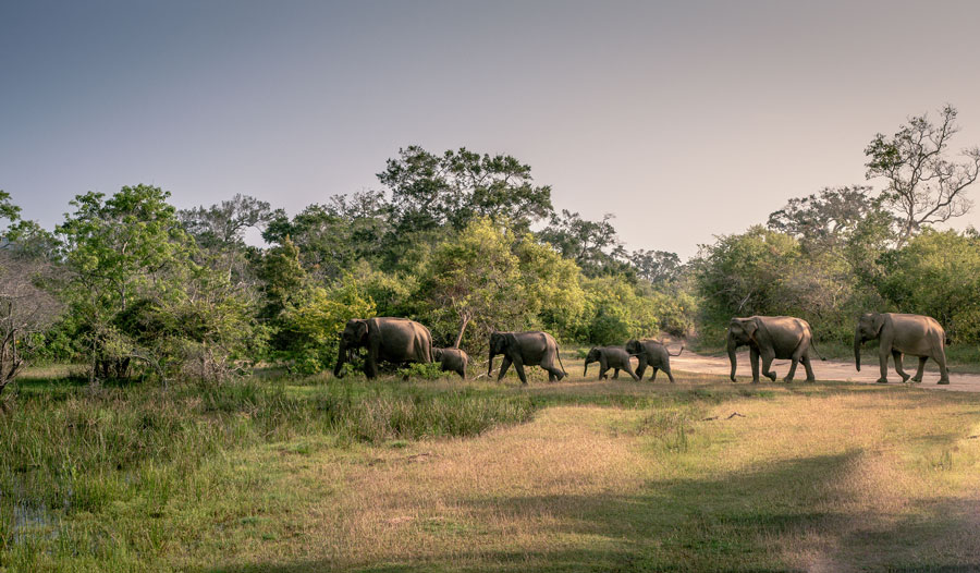 Elephants in a line at Yala National Park Sri Lanka
