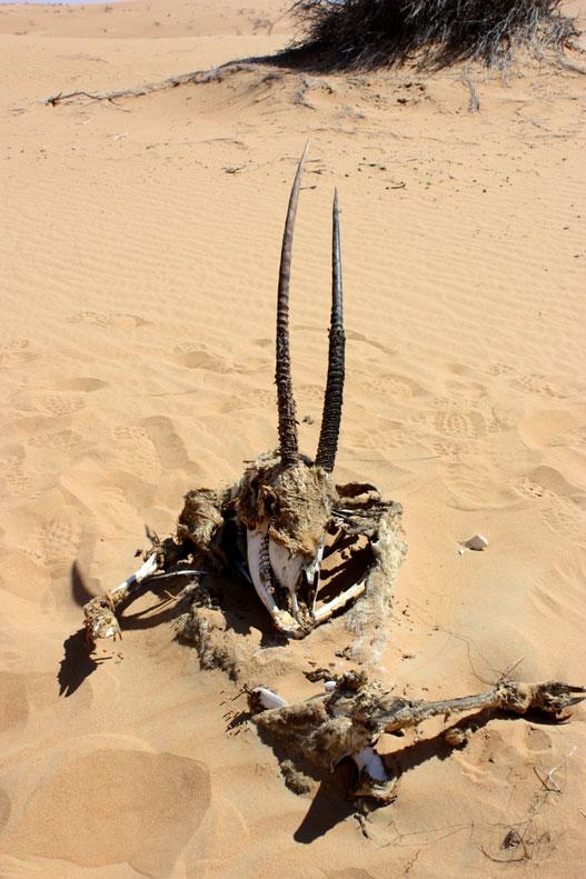 Platinum Heritage - Desert Safari Dubai - Breakfast with a Bedouin - Arabian Oryx bones in the desert
