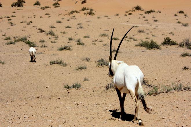 Platinum Heritage - Desert Safari Dubai - Breakfast with a Bedouin - Oryx in Dubai
