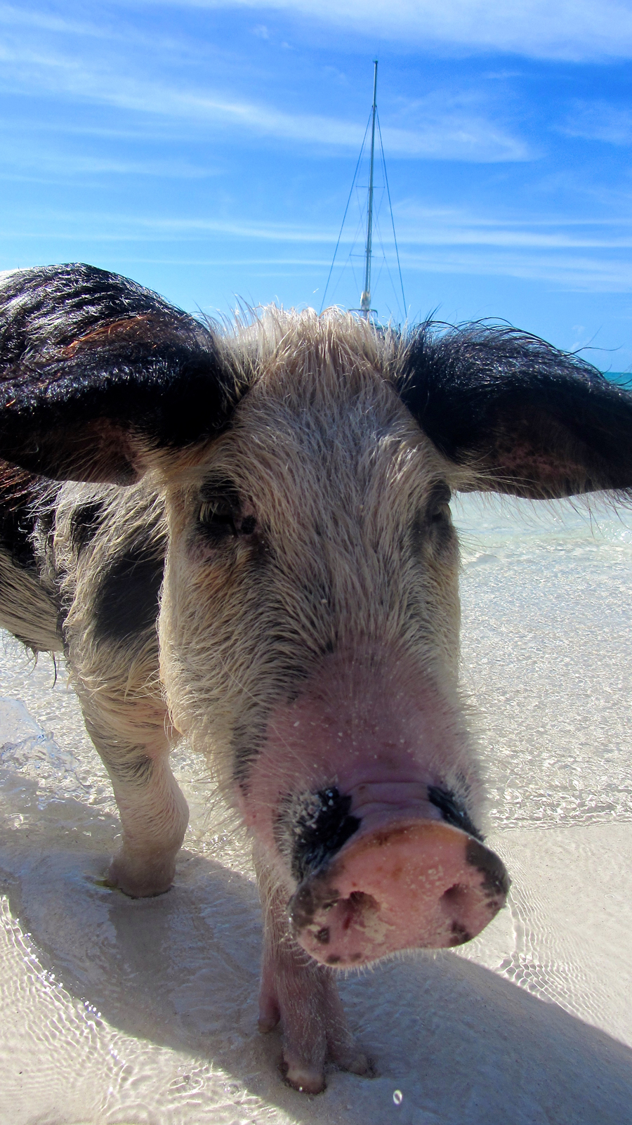 Swimming pigs exumas