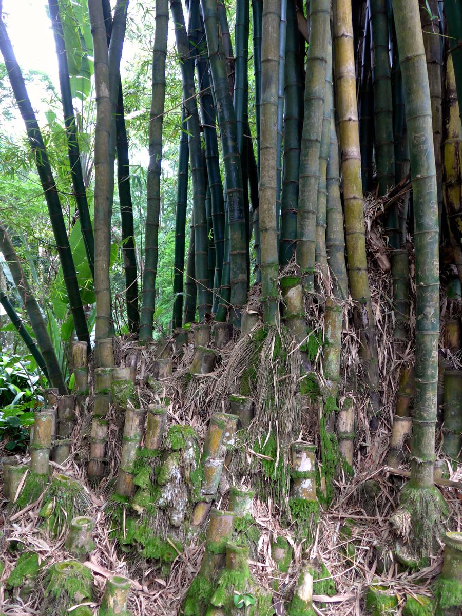 Botanical Garden Rio de Janeiro - Jardim Botanico do RIo de Janeiro - Bamboo