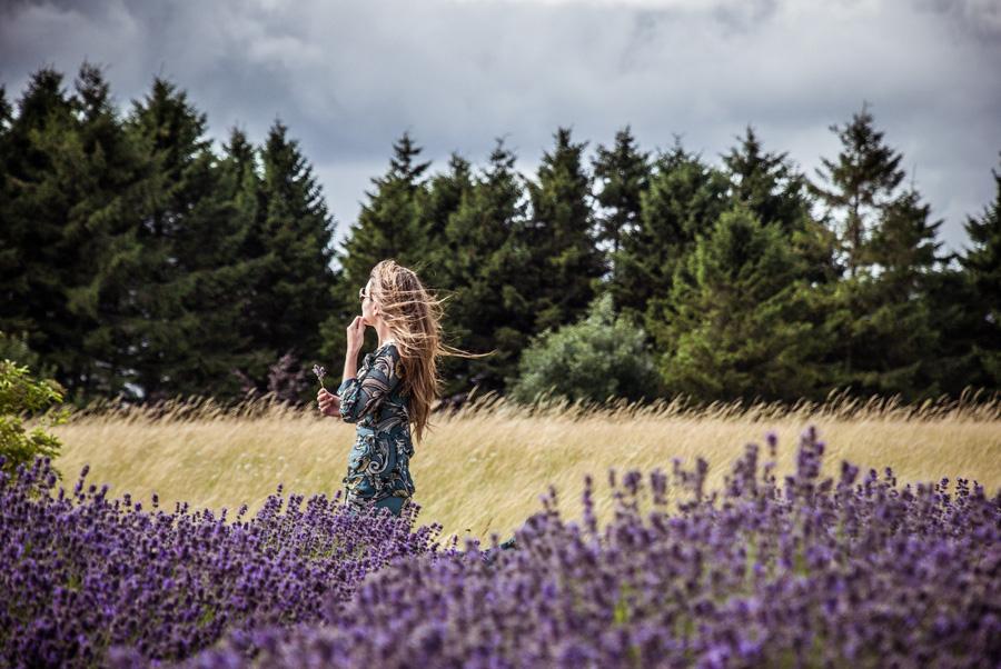 Cotswold Lavender fields - moody skies