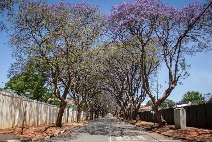 Jacaranda Trees flowering - Melrose, Johannesburg, South Africa