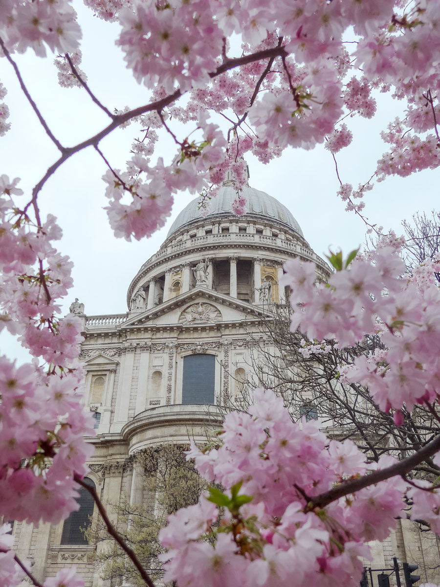 Cherry-Blossom-at-St-Pauls-Cathedral