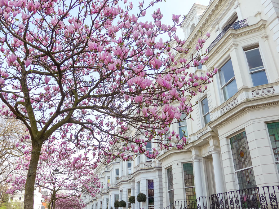 Magnolia and Cherry blossom in London
