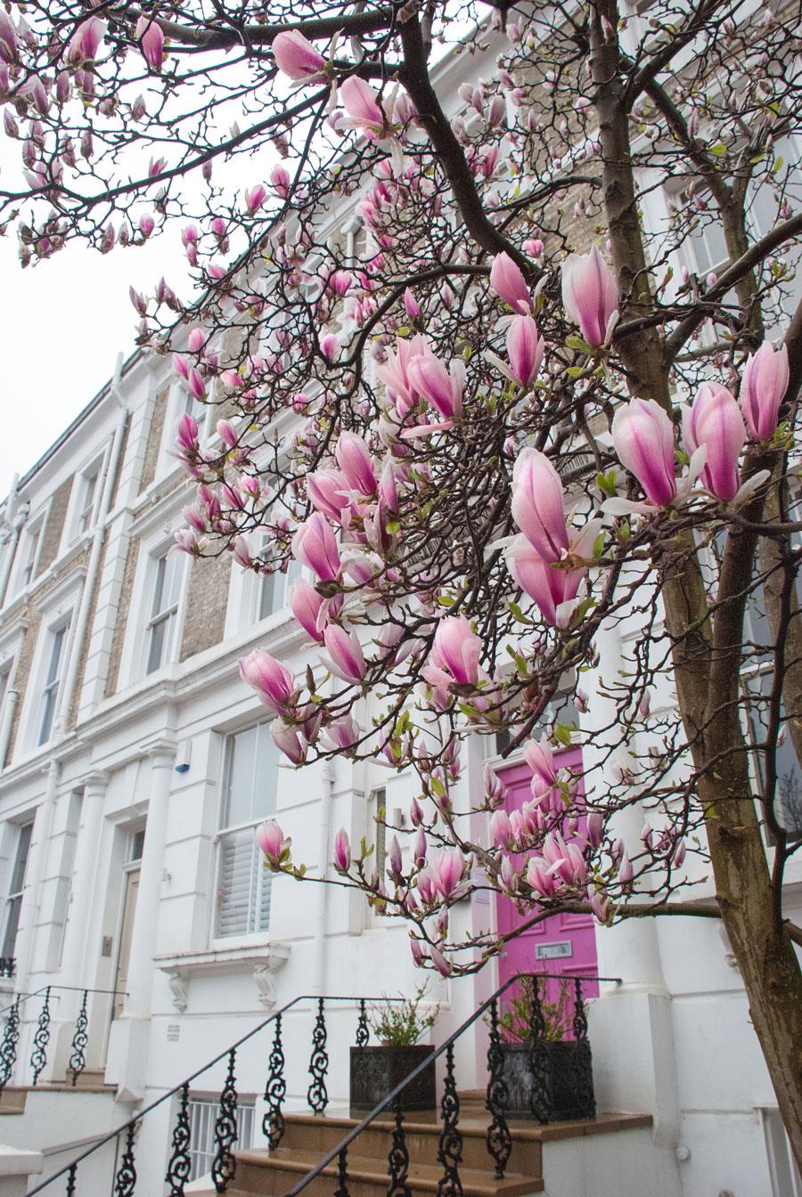 Portland-Road-Holland-Park-Blossom-London