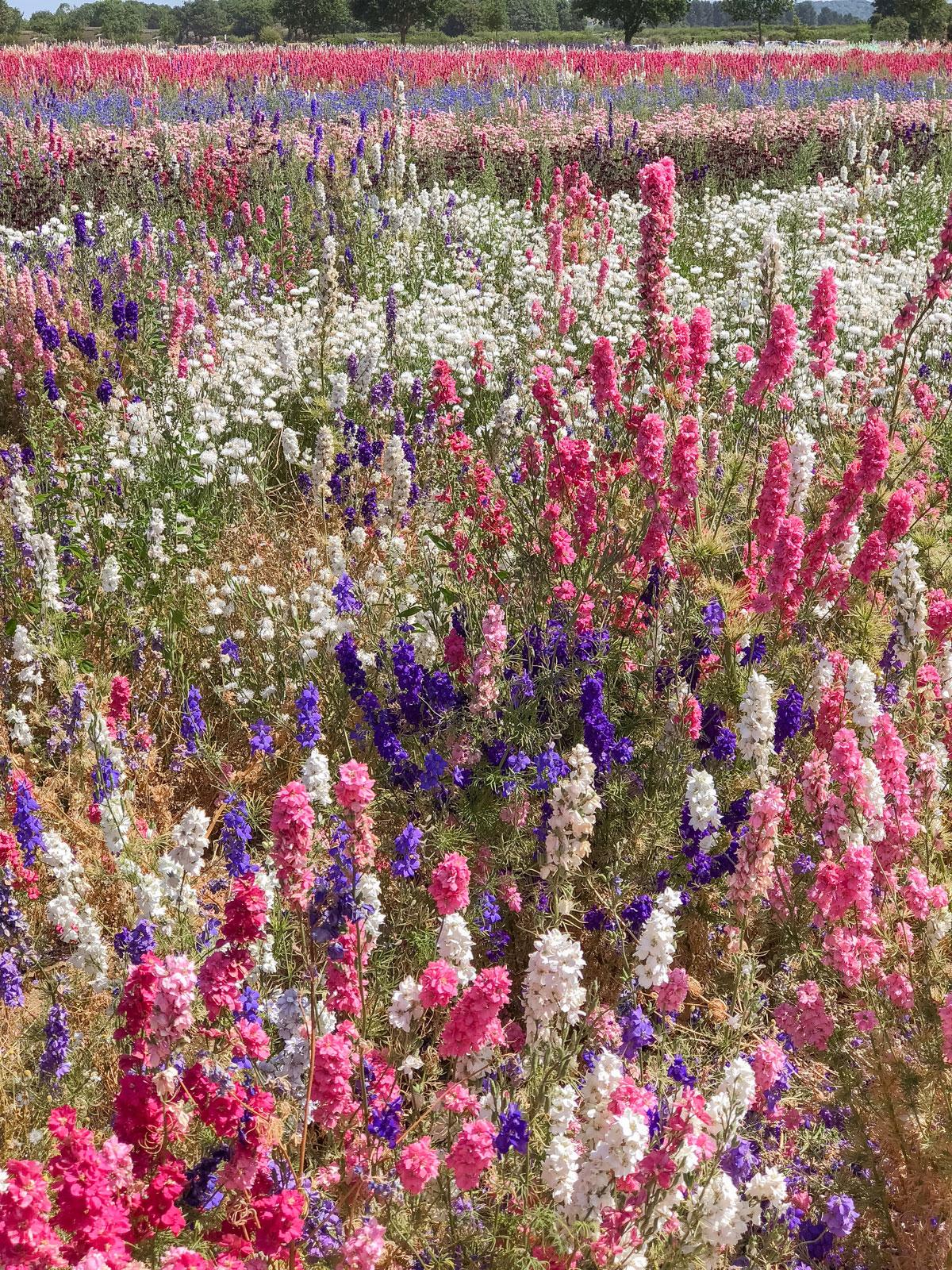 Cotswold Flower Fields - The Real Flower Petal Confetti Company Delphiniums - Wick