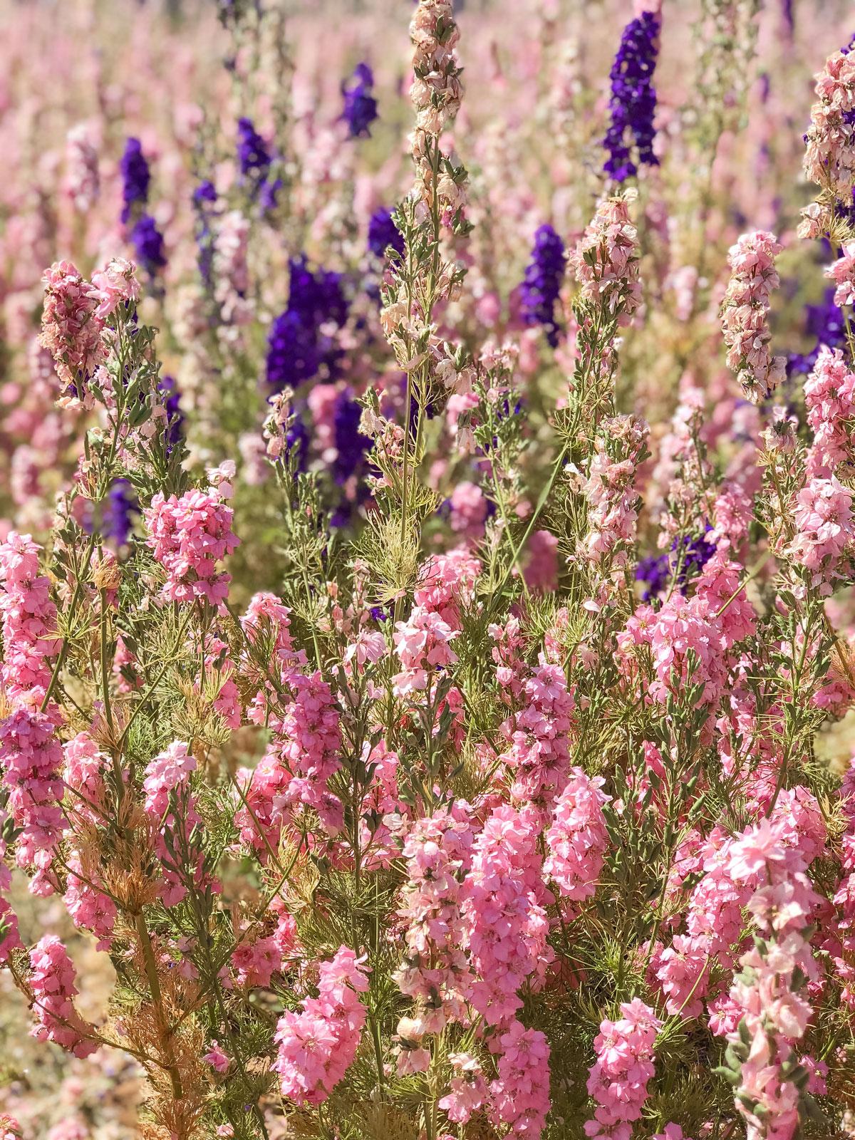 Cotswold Flower Fields - The Real Flower Petal Confetti Company Delphiniums