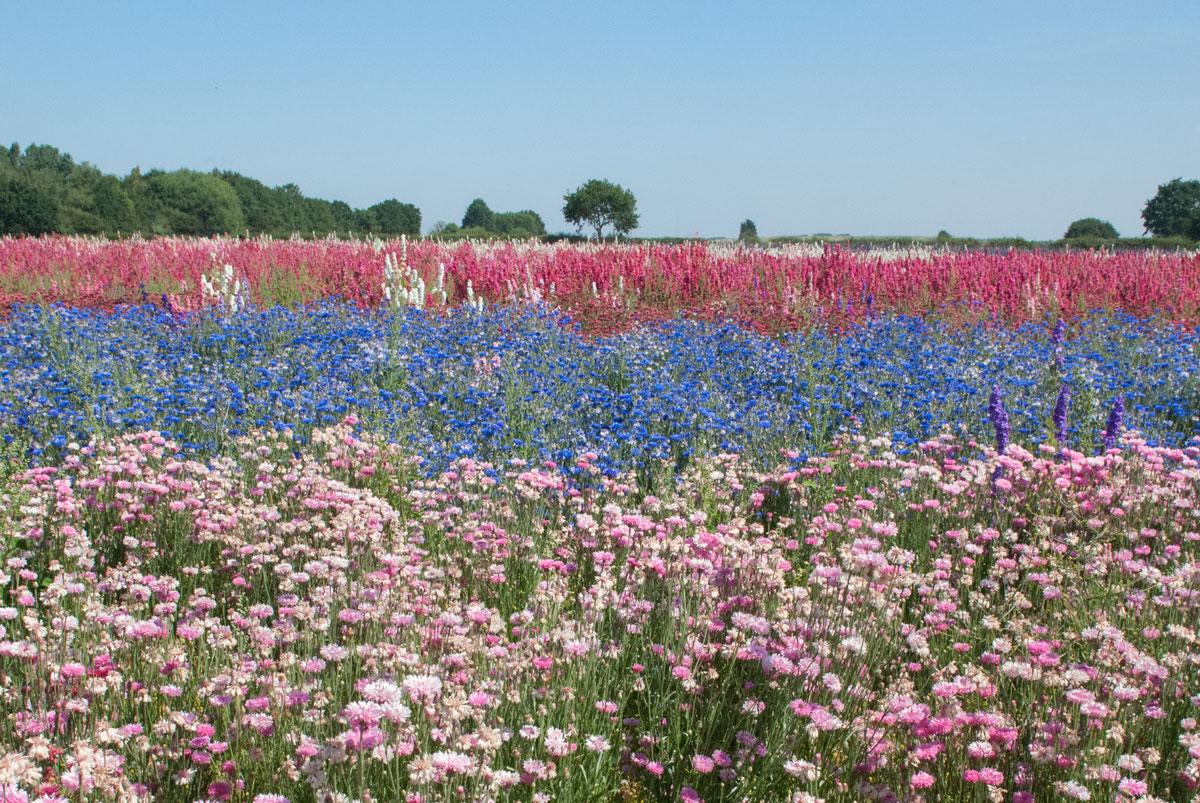 Cotswold Flower Fields - The Real Flower Petal Confetti Company Delphiniums - colourful field