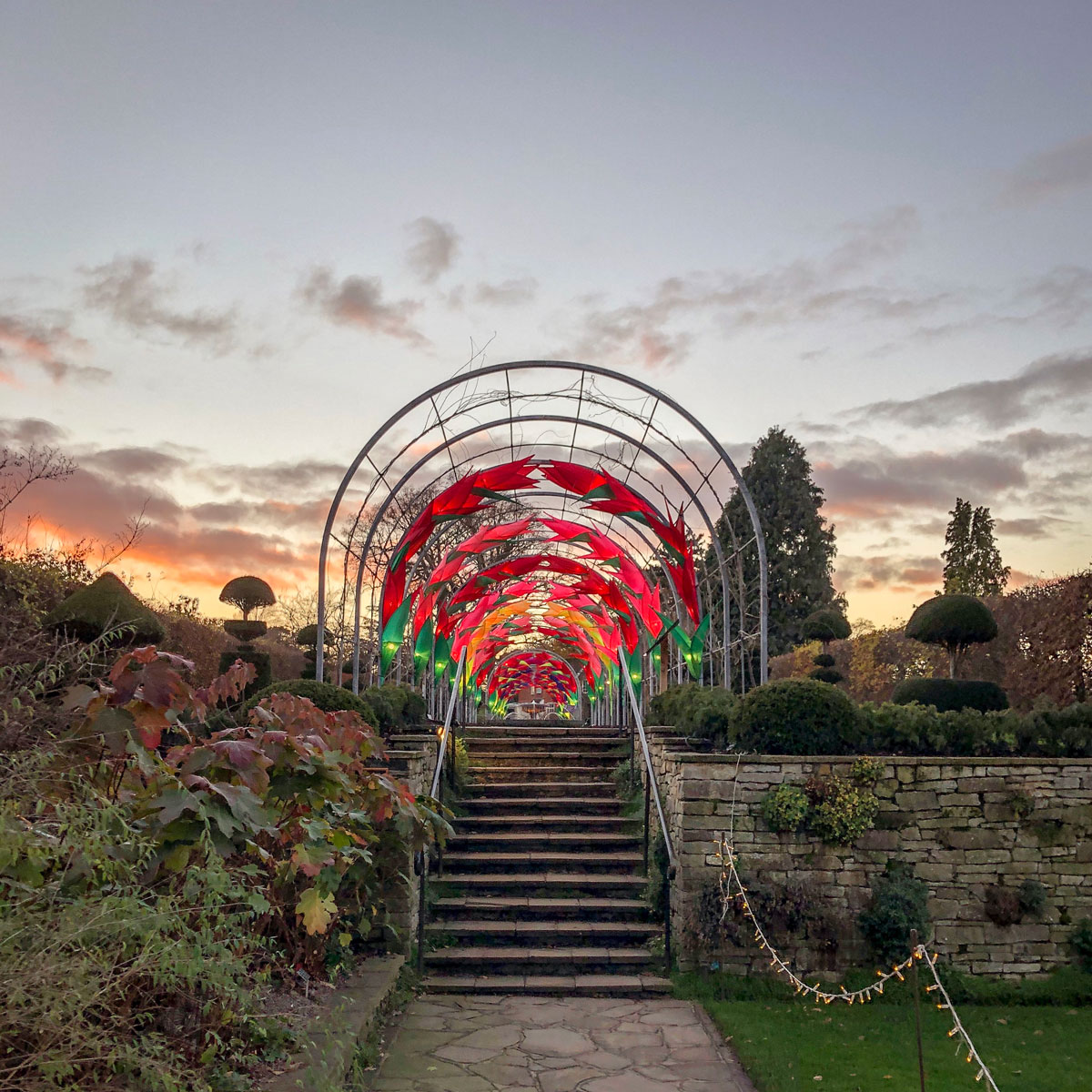 RHS Wisley Glow 2018 at sunset. Royal Horticultural Society. Wisteria Walk