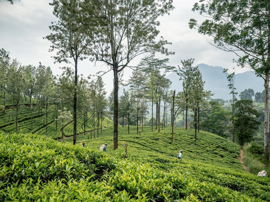Hellbodde tea plantation Nuwara Eliya Sri Lanka Itinerary Growing tea harvesting tea