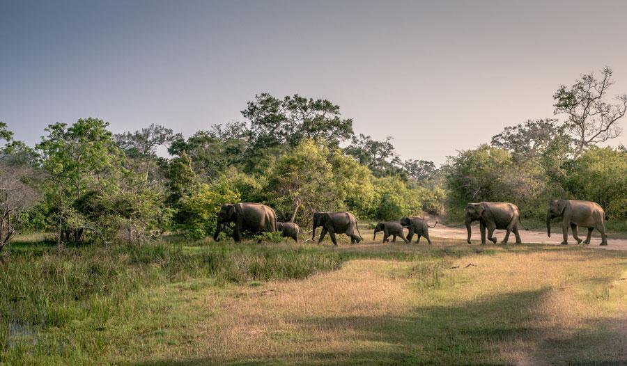 Elephants in a line at Yala National Park Sri Lanka