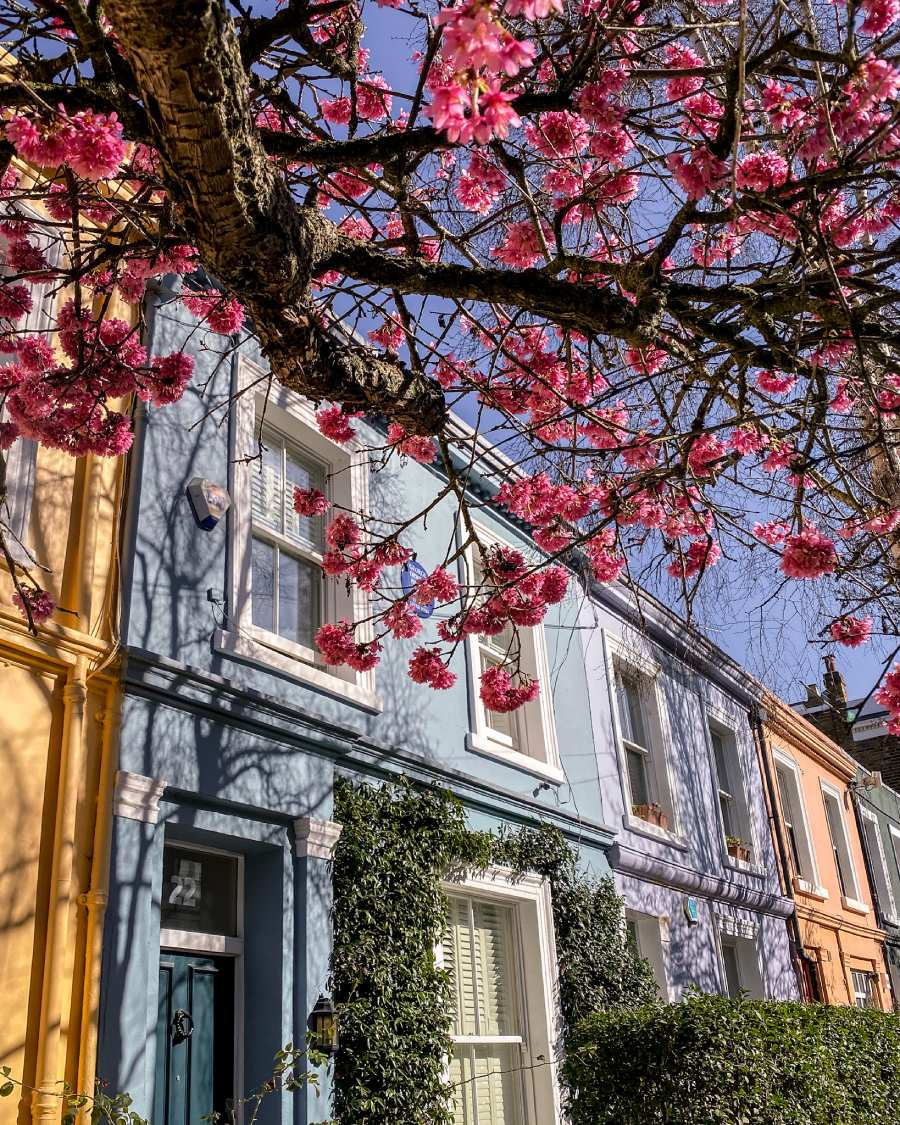 Cherry blossom in London